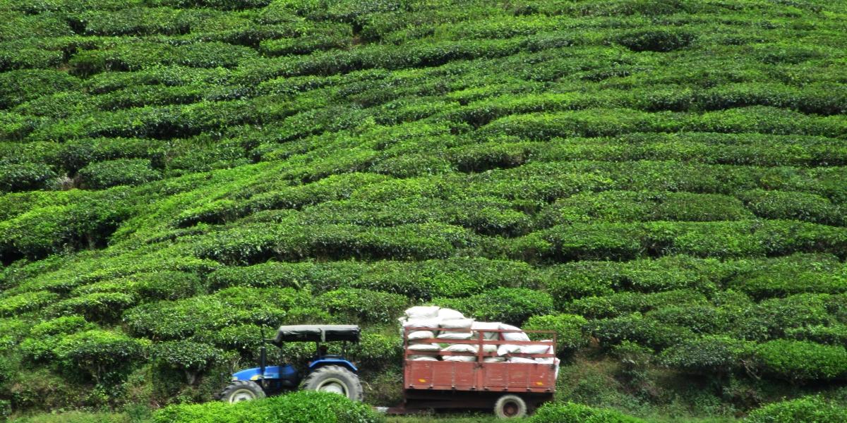 Cameron Highlands tea plantations - pinterjuco.hu