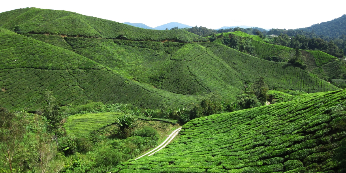Cameron Highlands tea plantations - pinterjuco.hu