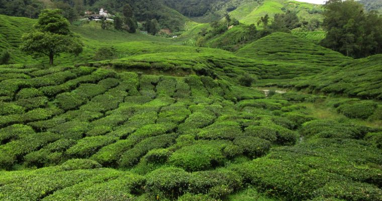 Green rolling hills – Cameron Highlands
