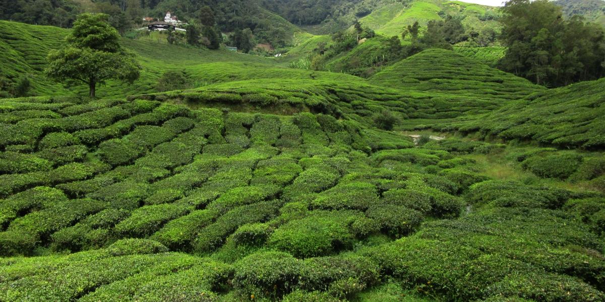 Green rolling hills – Cameron Highlands